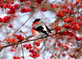 Bullfinch eating apples sitting on tree branch frozen wild Royalty Free Stock Image