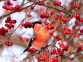 Bullfinch eating apples sitting on tree branch frozen wild Royalty Free Stock Images