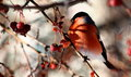 Bullfinch eating wild apples sitting on tree branch frozen Royalty Free Stock Images
