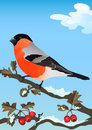 Bullfinch on a snowy branch of hawthorn Royalty Free Stock Image