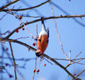 Bullfinch on a tree flipped upside down trying to eat a berry Stock Photography