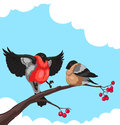 Bullfinch two on a branch of rowan on white background Royalty Free Stock Photo