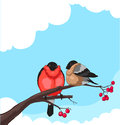 Bullfinch two on a branch of rowan on white background Royalty Free Stock Images