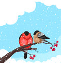 Bullfinch two on a branch of rowan on white background Stock Images