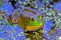 Bullfrog Royalty Free Stock Photo