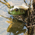Bullfrog Royalty Free Stock Photo