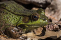 Bullfrog american at backyard pond it is often simply known as the in canada and the united states is an amphibious frog Stock Image