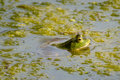 Bullfrog green partially submerged in water and algae Stock Photos
