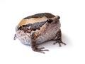 Bullfrog isolate on white background Stock Images