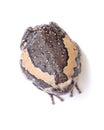 Bullfrog isolate on white background Stock Image