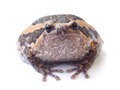 Bullfrog isolate on white background Stock Photo