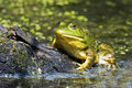 Bullfrog on log resting in pond Royalty Free Stock Images