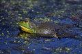 Bullfrog looking up from the water Stock Image