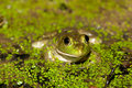 Bullfrog on a pond Royalty Free Stock Photos