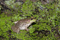 Bullfrog on a pond Royalty Free Stock Photo
