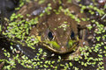 Bullfrog on a pond Royalty Free Stock Photo