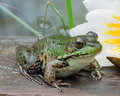 Bullfrog In A Pond In Summer Royalty Free Stock Photo
