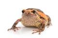 Bullfrog rana catesbeiana against white background studio shot Royalty Free Stock Photo