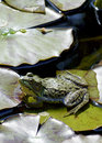 Bullfrog rana catesbeiana a handsome sits atop of a lily pad in it s natural habitat bullfrogs are usually green to greenish brown Stock Photos