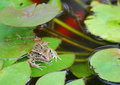 Bullfrog (Rana catesbeiana) in Koi Pond Stock Photo
