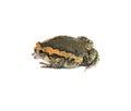 Bullfrog or rana catesbiana isolated on white background Royalty Free Stock Photography