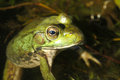 Bullfrog a sits in the water Royalty Free Stock Photography
