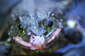 The bullfrog in water pop eyed Royalty Free Stock Photo