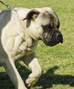 Bullmastiff dog a young beautiful fawn medium sized running on the lawn dogs are well known for being fearless and Stock Photography