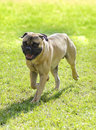 Bullmastiff dog a young beautiful red fawn medium sized walking on the grass the is a powerfully built animal with Stock Images