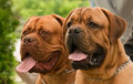 Bullmastiff en dogue de bordeaux Stock Foto