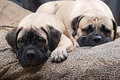 Bullmastiff puppy 83 Royalty Free Stock Images