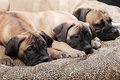 Bullmastiff puppy 90 Stock Photo