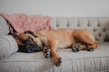 Bullmastiff sleeping on couch Royalty Free Stock Photo