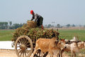 Bullock carts towed in myanmar field mandalay march unidentified farmer riding on their ox cart carrying supplies the highway runs Royalty Free Stock Photography