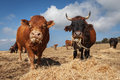 Bulls closeup photo of calves and oxen taken in sicily in madonie Royalty Free Stock Photos