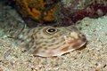 Bulls-eye Electric Ray Royalty Free Stock Photo