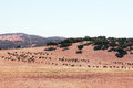 Bulls farm in spain herd of purebred on beautiful spanish pasture Stock Images