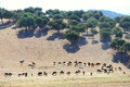 Bulls farm in spain herd of purebred on beautiful spanish pasture Stock Image
