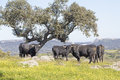 Bulls in a field Royalty Free Stock Photo