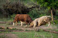 Bulls fighting for their territory in the forest Stock Image