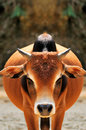Bulls gorgeous coat china inherent ordinary bovine species Royalty Free Stock Image