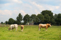 Bulls in pastures dutch landscape Stock Images