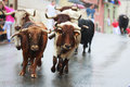 Bulls are running in street during festival Royalty Free Stock Photo