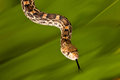 Bullsnake tongue adult female showing its long Royalty Free Stock Images