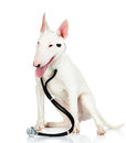 Bullterrier dog with a stethoscope on his neck isolated white Royalty Free Stock Image