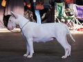 Bullterrier on a dogshow Royalty Free Stock Image