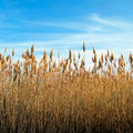 The bulrush Royalty Free Stock Image