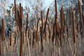 Bulrush Royalty Free Stock Image