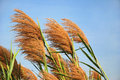 Bulrush and blue sky Royalty Free Stock Image