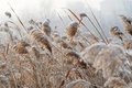 Bulrush in the cold wind Royalty Free Stock Images